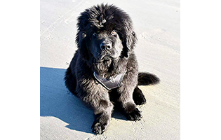 Newfoundland Puppy Affected with FLA/CRHL